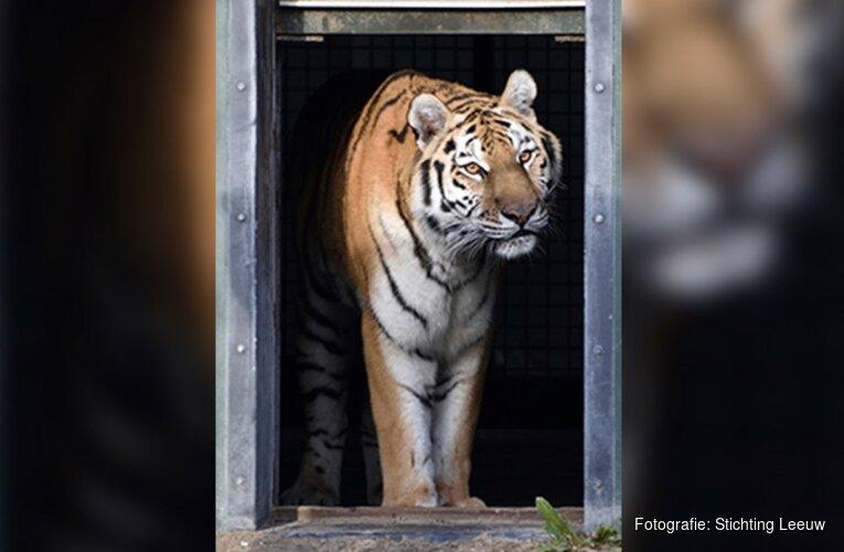 Hoenderdaell in rouw: Ursel de tijger overleden