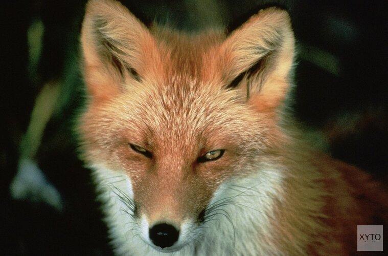 Inwoners van Wieringen staan op tegen de vos