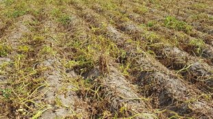 Door droogte gedupeerde boeren krijgen financiële hulp van minister